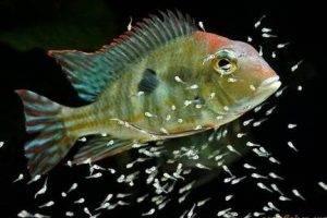 Рыбки северумы размножение