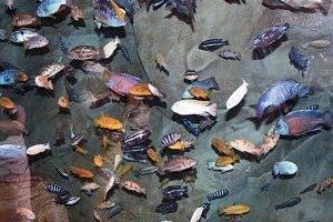 Рыбки северумы разновидности