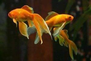 Золотые грациозные рыбки