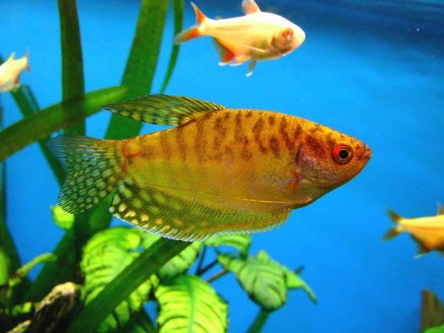 Гурами золотой в аквариуме
