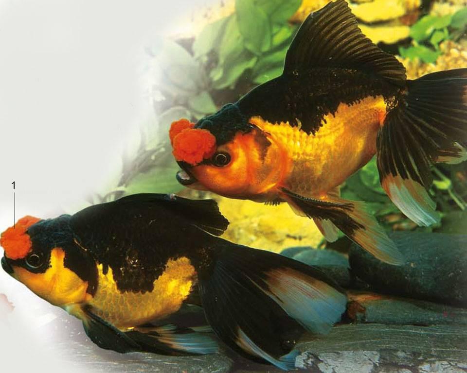 Пом пом золотая рыбка