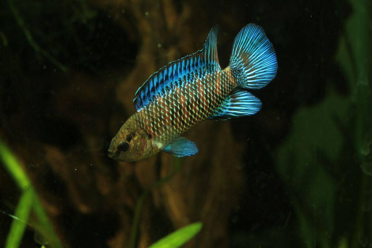 Рыбка хамелеон в аквариуме