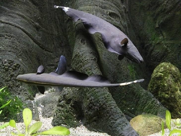 Рыбы ножи в аквариуме