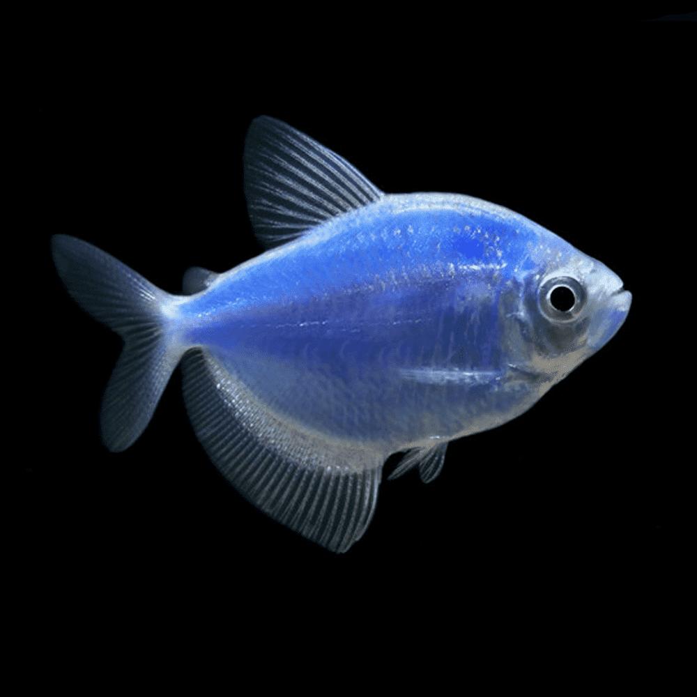 Тернеция голубая