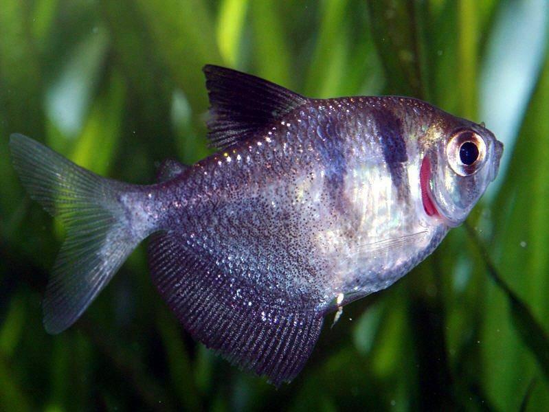 Тетра в аквариуме