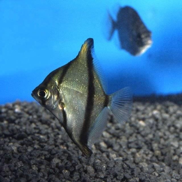 Черно-серый монодактил
