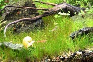 Элеохарис парвуа в аквариуме