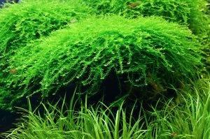 Яванский декоративный мох