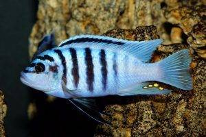 мбуна аквариумная рыбка