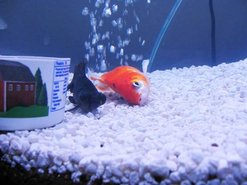 Мертвая рыбка на дне аквариума