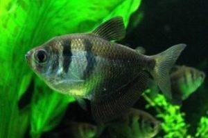 Основная масса аквариумных обитателей – костные