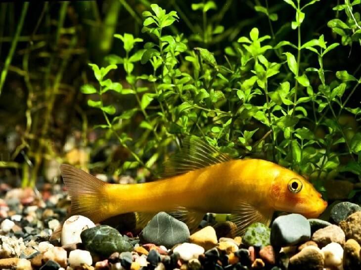 Гиринохейлус чистит аквариум