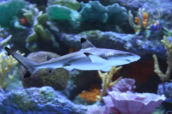 Карликовая акула