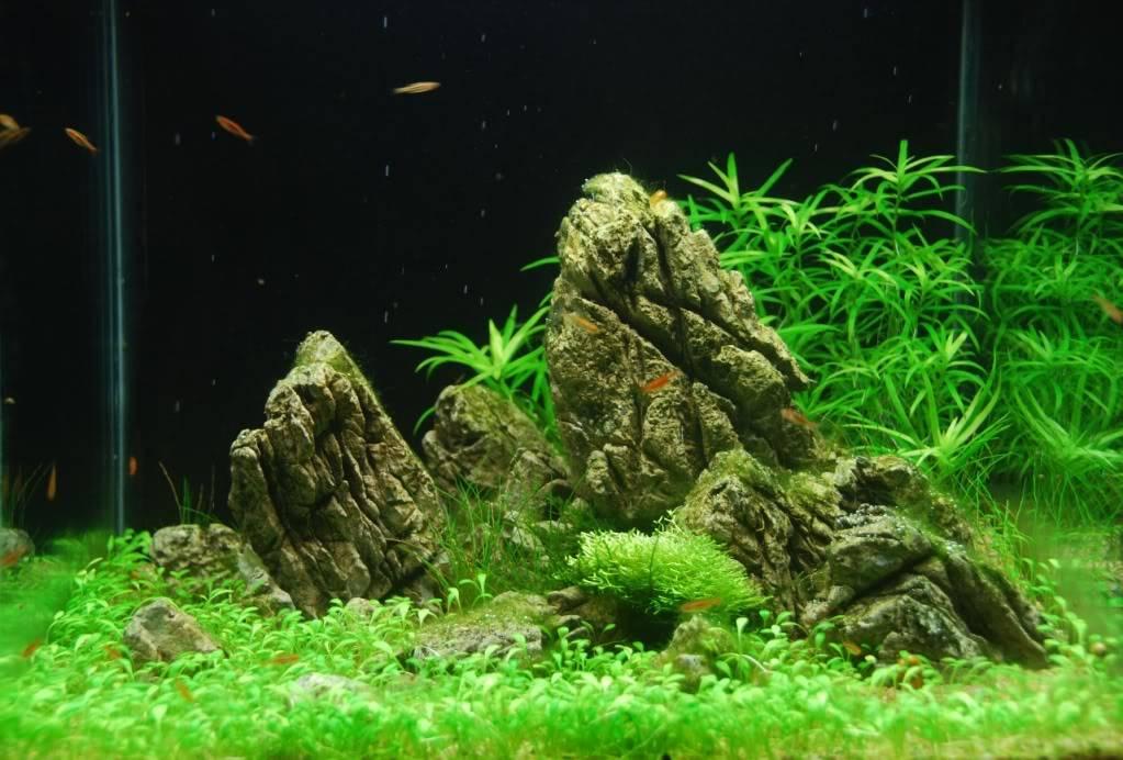 Глоссостигма повойничковая в аквариуме
