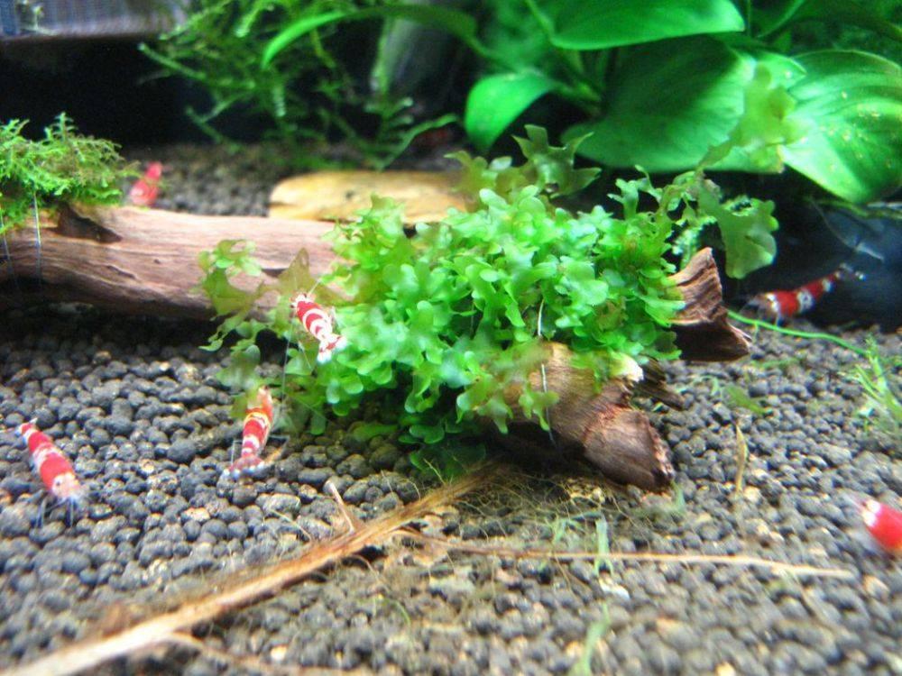 Ломариопсис линеата в аквариуме