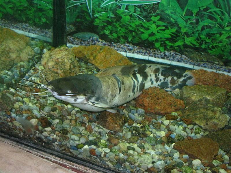 Сом клариус в аквариуме