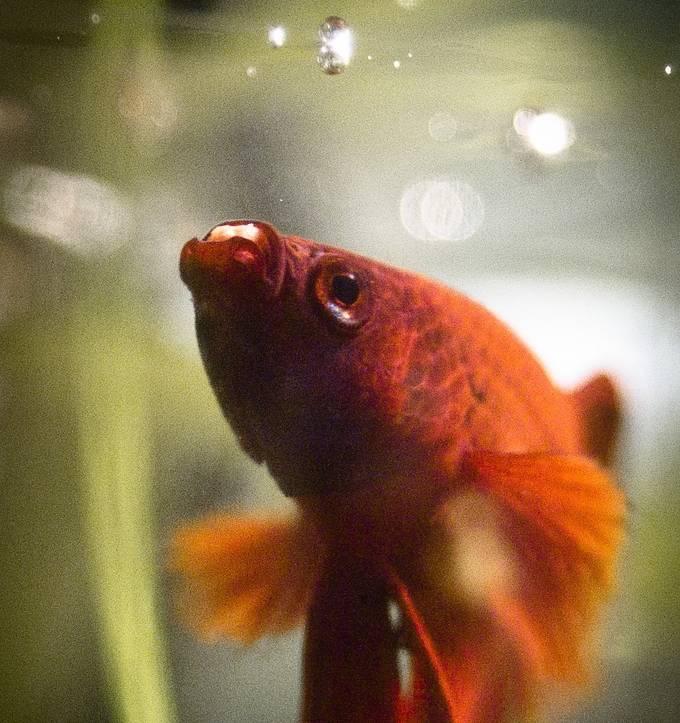 Кормление рыбки петушка