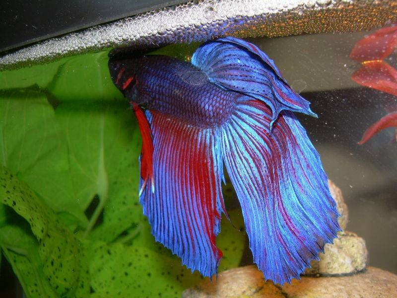 Рыбка петушок мультиколор
