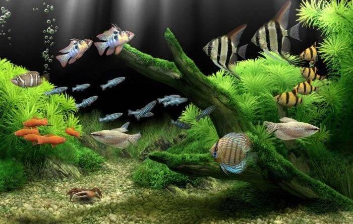 Золотые рыбки: виды, фото