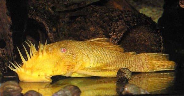 Анциструс, аквариумный сомик