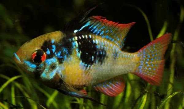 Апистограмма Рамирези красивая рыбка
