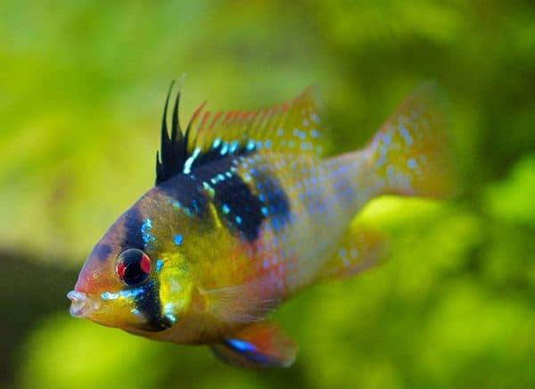 Апистограмма Рамирези. Содержание, фото рыбки, видео, совместимость и разведение.