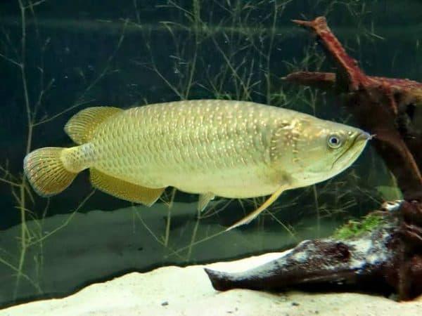 Арована рыбка