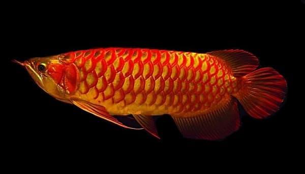 Арована удивительная рыбка