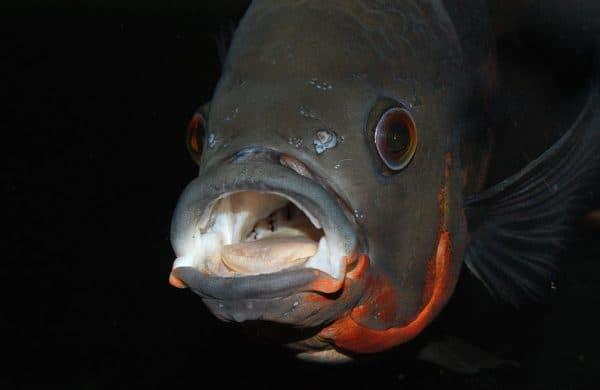 Астронотус аквариумная рыбка