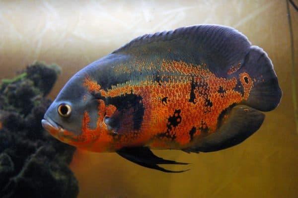 Астронотус. Содержание, фото рыбки, видео, разведение и совместимость.