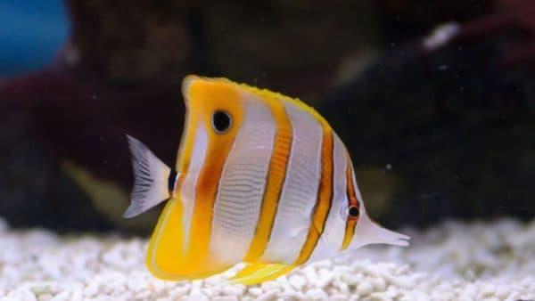 Бабочка-пинцет (длиннорылая рыба-бабочка)