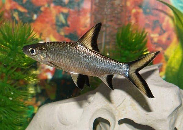 Барбус - аквариумная рыбка