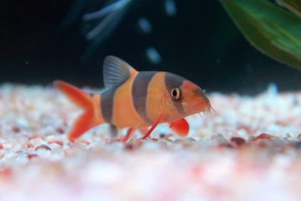 Боция клоун невероятная аквариумная рыбка