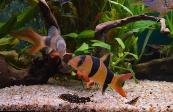Боция клоун невероятная рыбка