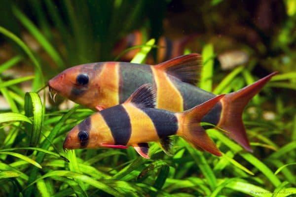 Боция клоун рыбка