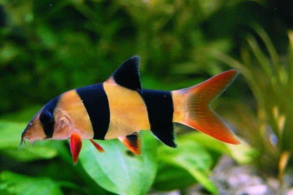 Боция клоун рыбка в аквариуме