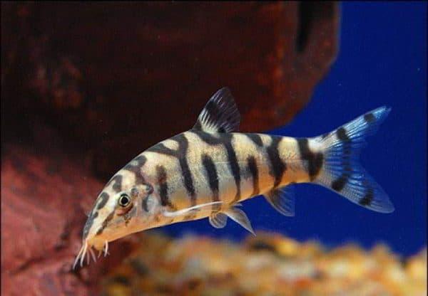 Боция мраморная. Содержание, фото рыбки, видео, совместимость и разведение.