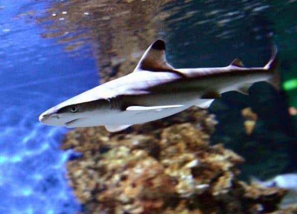 Черноплавничная рифовая акула