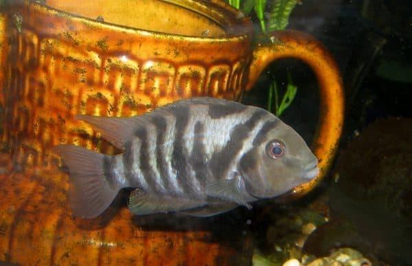 Цихлазома чернополосая изумительная рыбка
