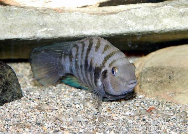 Цихлазома чернополосая рыба