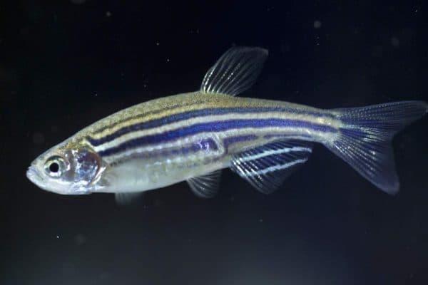 Данио-рерио - аквариумные рыбы из семейства карповых