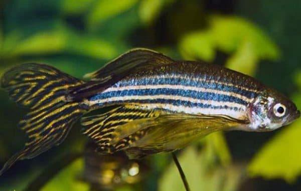 Данио рерио красивая рыбка