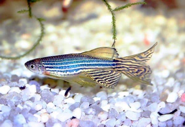 Данио рерио описание рыбки