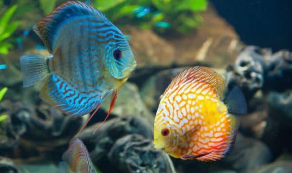 Дискус. Содержание, фото рыбки, видео, совместимость и разведение.