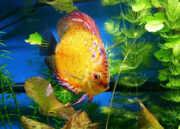 Дискусы Аквариумные рыбки фотографии с названиями