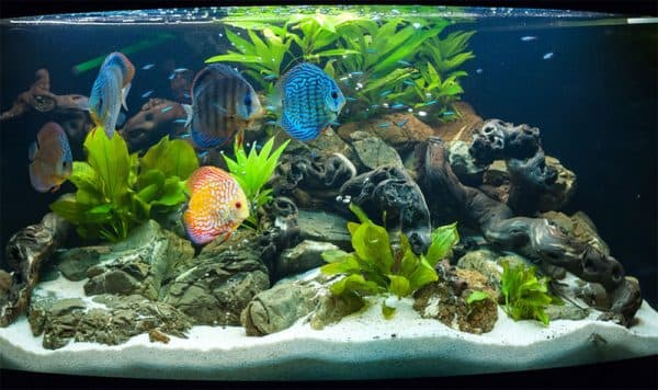 Дискусы в аквариуме плавают