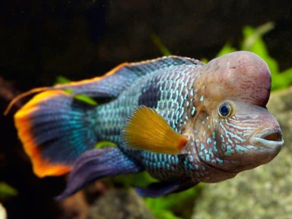 Фотографии рыбки бирюзовая акара