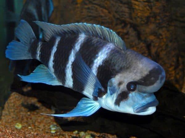 Фронтоза - аквариумная рыбка