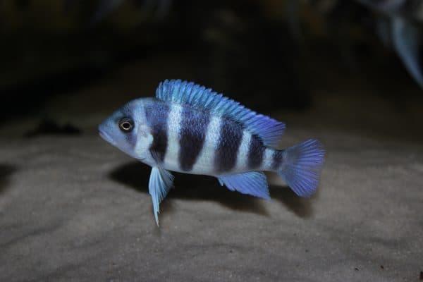 Фронтоза красивая рыбка