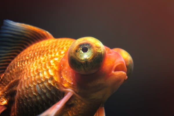 Глаза рыбки телескопа